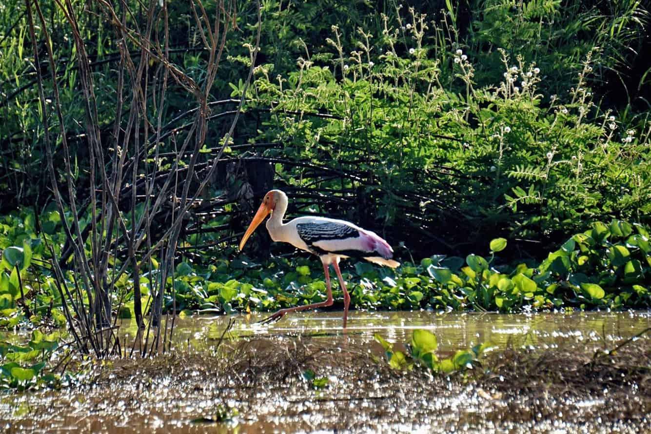 Bird Tonle Sap