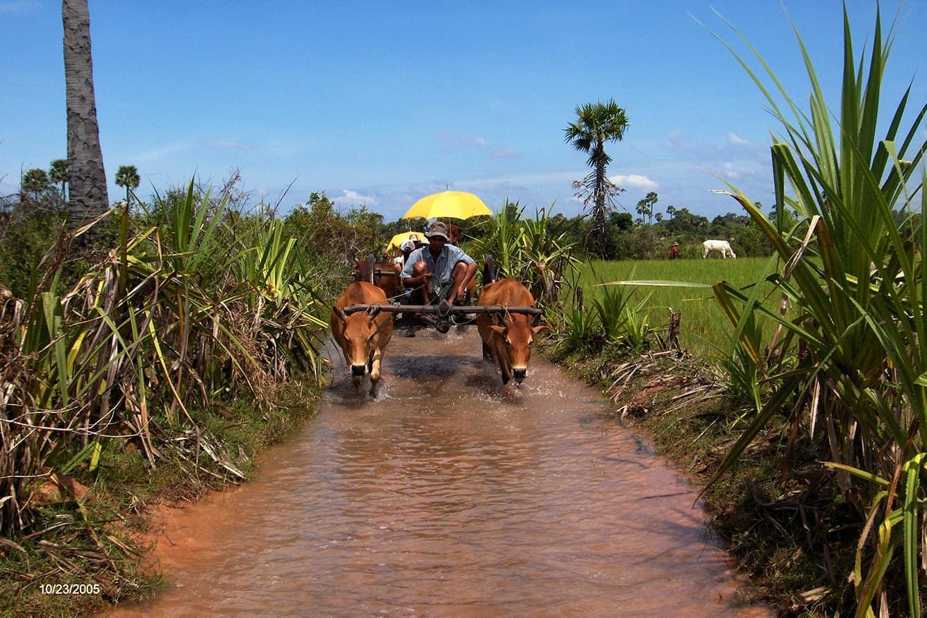 Ox Cart Riding through Creek in Siem Reap